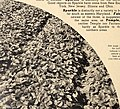 Allen's 1949 book of berries (1949) (17764540779).jpg