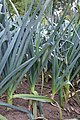 Allium ampeloprasum var. porrum herfstprei (2).jpg