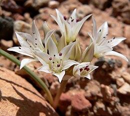 Allium nevadense 6
