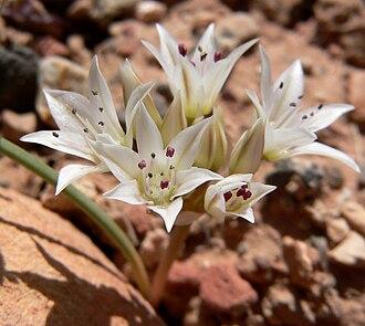 Allium nevadense - Image: Allium nevadense 6