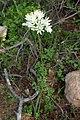 Allium roseum kz01 Morocco.jpg