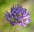 Allium senescens 'Huteri' 4409.jpg