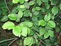 Alnus viridis 2-eheep (5097474947).jpg