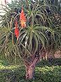 Aloe Kedongensis Alicante.jpg