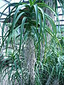 Aloe arborescens 03 by Line1.JPG