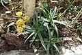 Aloe camperi (Aloe eru) - Orto botanico - Rome, Italy - DSC00013.jpg