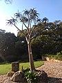 Aloidendron barberae Kirstenbosch.jpg