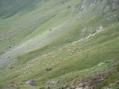 Alpage moutons pyrenees