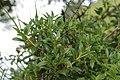 Alpenrose - Rhododendron ferrugineum (44489966821).jpg
