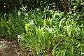 Alpinia zerumbet 41zz.jpg