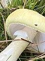 Amanita phalloides 89453040.jpg