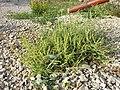 Amaranthus albus sl42.jpg