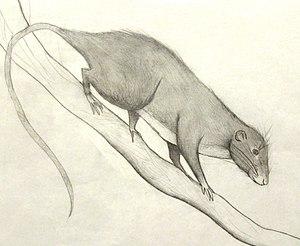 Amazon bamboo rat - Image: Amazon Bamboo Rat