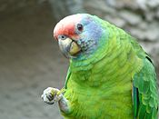Amazona brasiliensis -upper body-8a.jpg