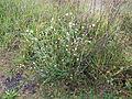 Ammobium alatum plant15 (14332664004).jpg