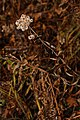 Anaphalis margaritacea 8901.JPG