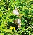 Anartia jatrophae (Nymphalinae).jpg