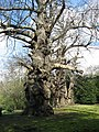 Ancient sweet chestnut trees at Warley Place - geograph.org.uk - 1231071.jpg