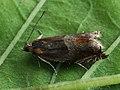 Ancylis mitterbacheriana - Серпокрылая листовёртка дубовая (27385166618).jpg