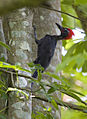 Andaman woodpecker .jpg