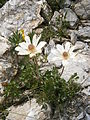 Anemone baldensis 002.JPG