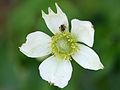Anemone virginiana 2734-2737.jpg