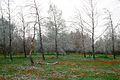 Anemones, dvir forest - כלניות, יער דביר (6883601476).jpg