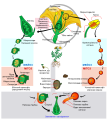 Angiosperm life cycle diagram uk.svg