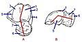Angles of talus.ro.jpg
