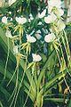 Angraecum eburneum longicalcar.jpg