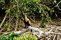Anhinga anhinga -Peru -female-8.jpg