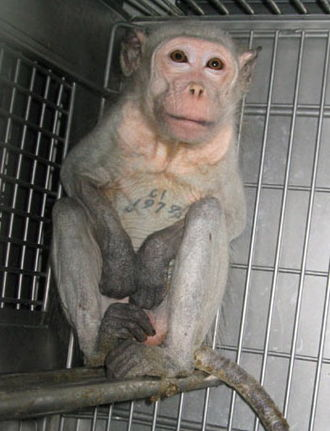 Animal testing on non-human primates - Image: Animaltesting Monkey Covance 2