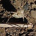 Anisoptera exuvia-4-4.jpg