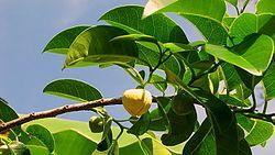 Annona glabra L. (6663075671).jpg