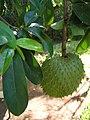 Annona muricata 1.jpg