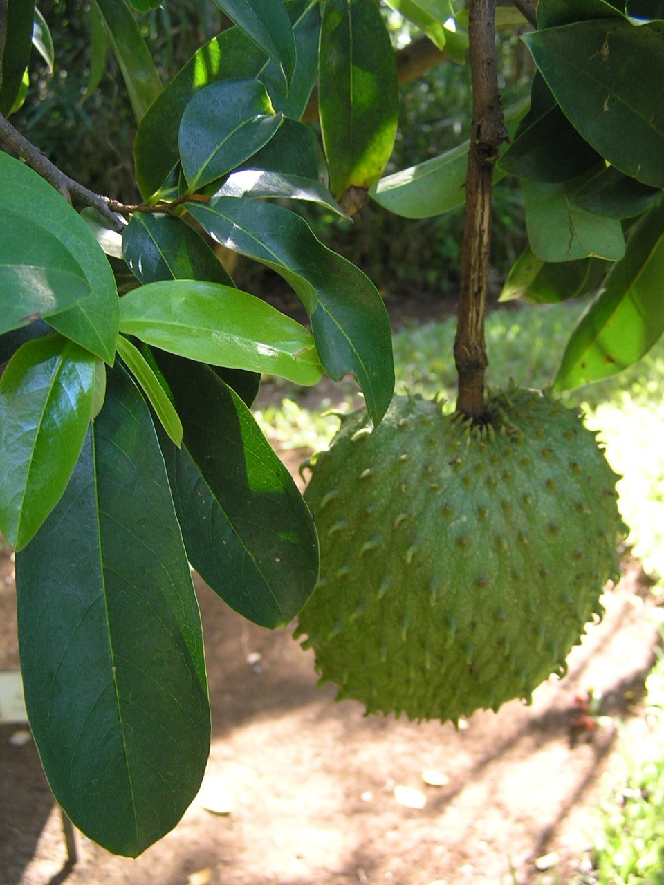 A spiky green fruit growing on a tree