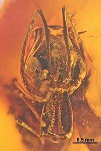 Anochetus lucidus SMNSDO2846-1 01.jpg