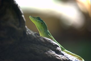 Hispaniolan Green Anole