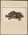 Antennarius marmoratus - 1700-1880 - Print - Iconographia Zoologica - Special Collections University of Amsterdam - UBA01 IZ13600205.tif