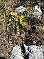 Anthyllis vulneraria (Nebelhorn).jpg