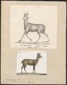 Antilope saltatrix - 1700-1880 - Print - Iconographia Zoologica - Special Collections University of Amsterdam - UBA01 IZ21400113.tif