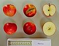 Apfel mit Schnitt Akane (fcm).jpg