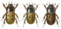 Aphodius distinctus.png