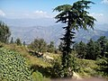 Apple Garden, Kufri Hill, Shimla.jpg