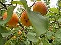 Apricots on tree, 2019 Szigethalom.jpg