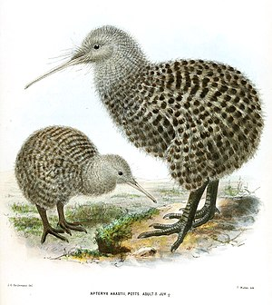 Great spotted kiwi - Illustration of an immature and an adult male
