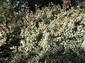 Aquifoliales - Ilex aquifolium 5.jpg