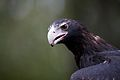 Aquila audax -Healesville Sanctuary, Victoria, Australia -upper body-8a.jpg