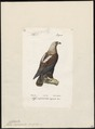Aquila imperialis - 1842-1848 - Print - Iconographia Zoologica - Special Collections University of Amsterdam - UBA01 IZ18100191.tif