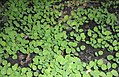 Aquilegia seedlings 2016-06-17 2476.jpg